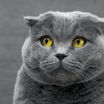 shy grey cat