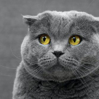 shy grey cat